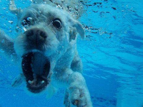 Bronte diving for Frisbees in the pool