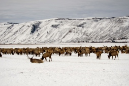 About 6,000 - 7,000 Elk spend the winter, literally, just North of Jackson.