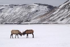 Two bull elk, negotiating.