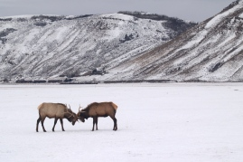 Two bull elk, negotiating.