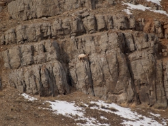 Big horn sheep on the rocks.
